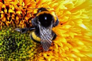 bumble-bee-871679_640