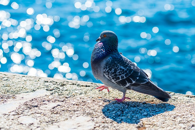 pigeon-517244_640