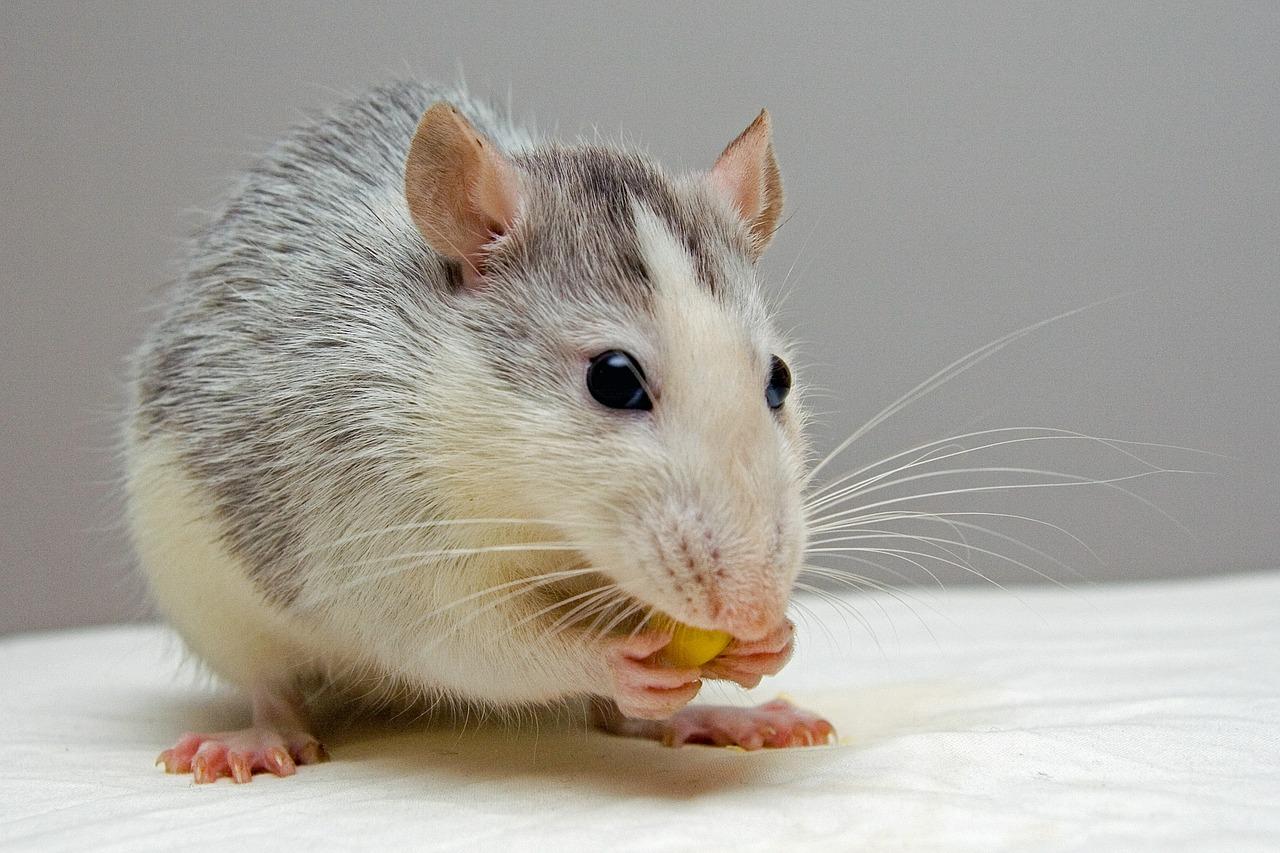 rat-440987_1280